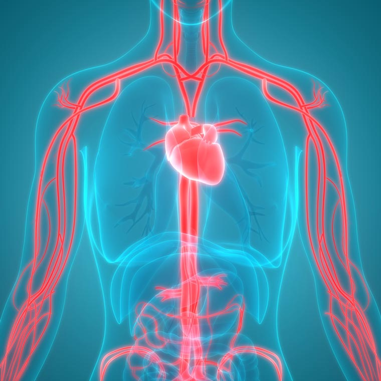 Effects of hypertension and high cholesterol on the cardiovascular system.