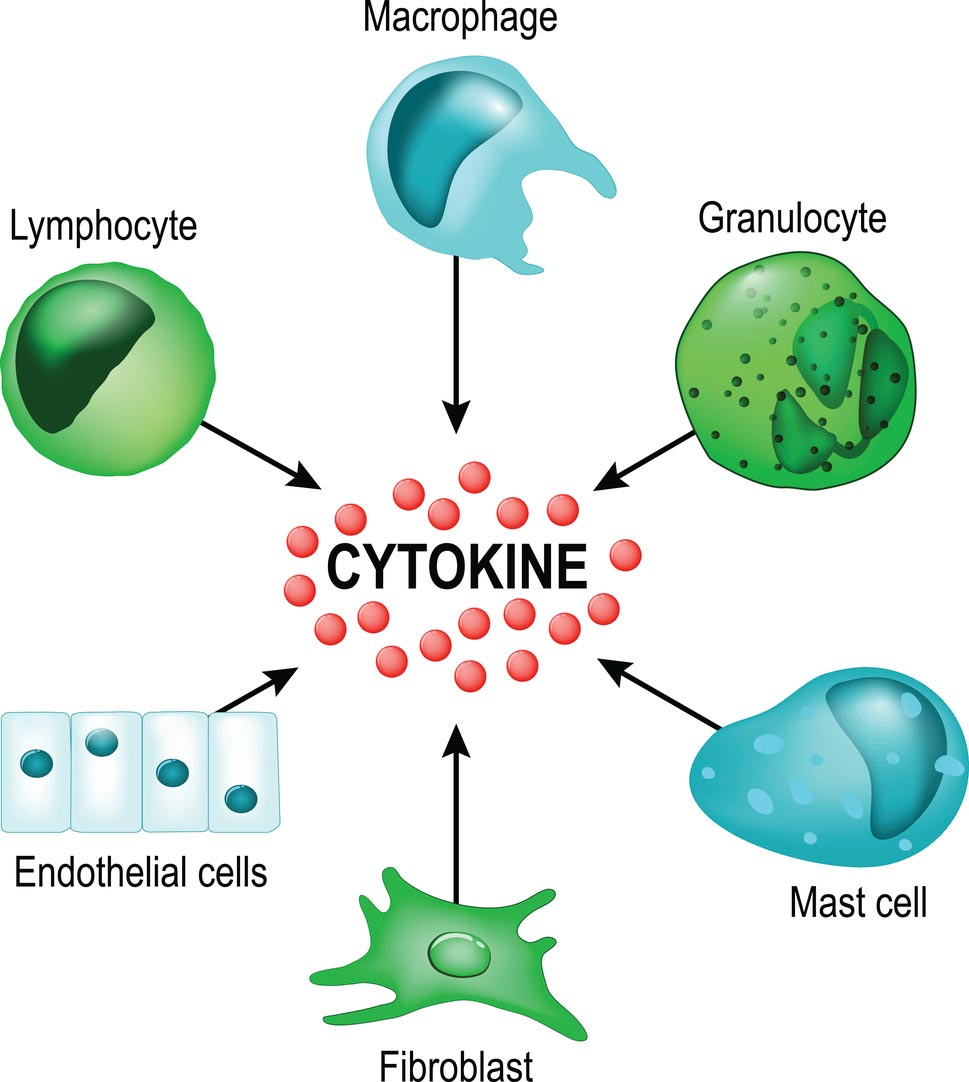 Turmeric and turmeric compounds help regulate cytokines in cells.