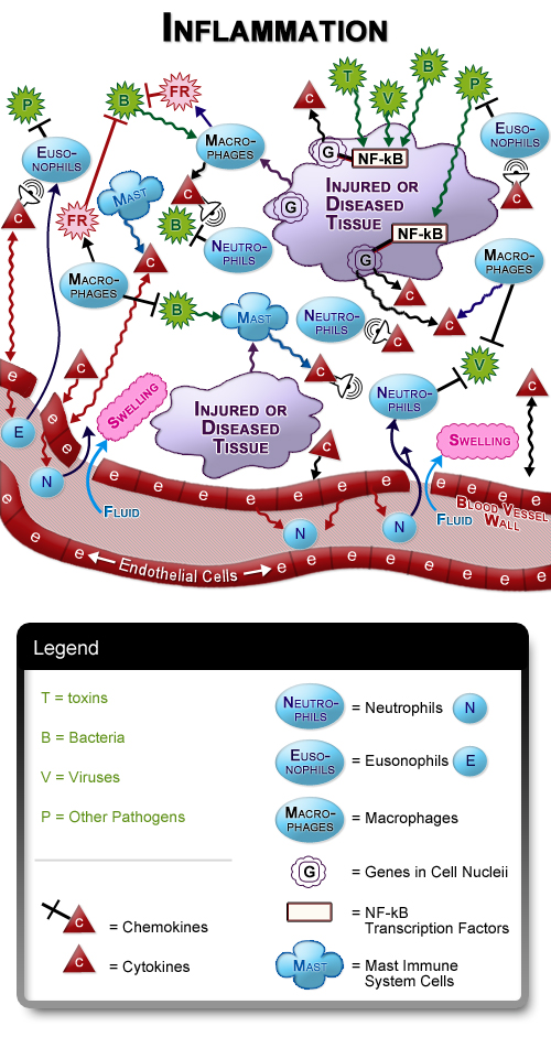 Figure III.1: Inflammation and the Immune System