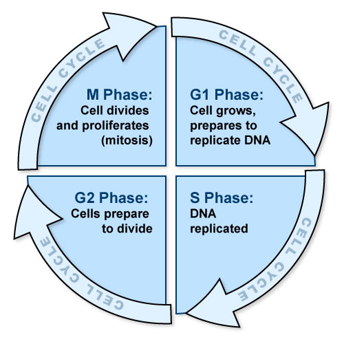 Table VI.4: Cell Cycle