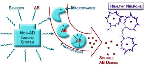Figure IV.8: Phagocytosis Clears out AΒ Proteins in Brain