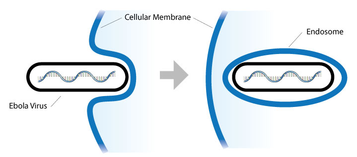 Ebola enters cell, and the cell creates membrane around virus, resulting in an endosome.