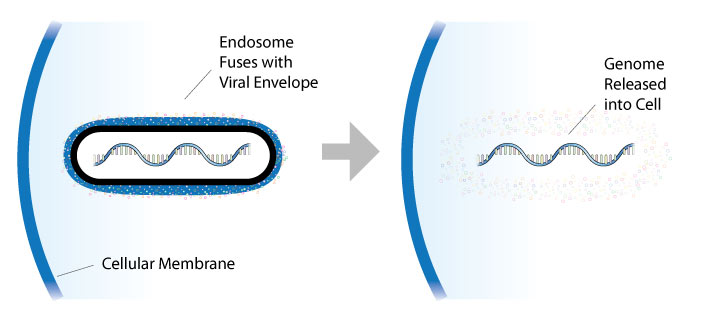 The viral envelope and endosome fuse, releasing the Ebola genome into the cell.